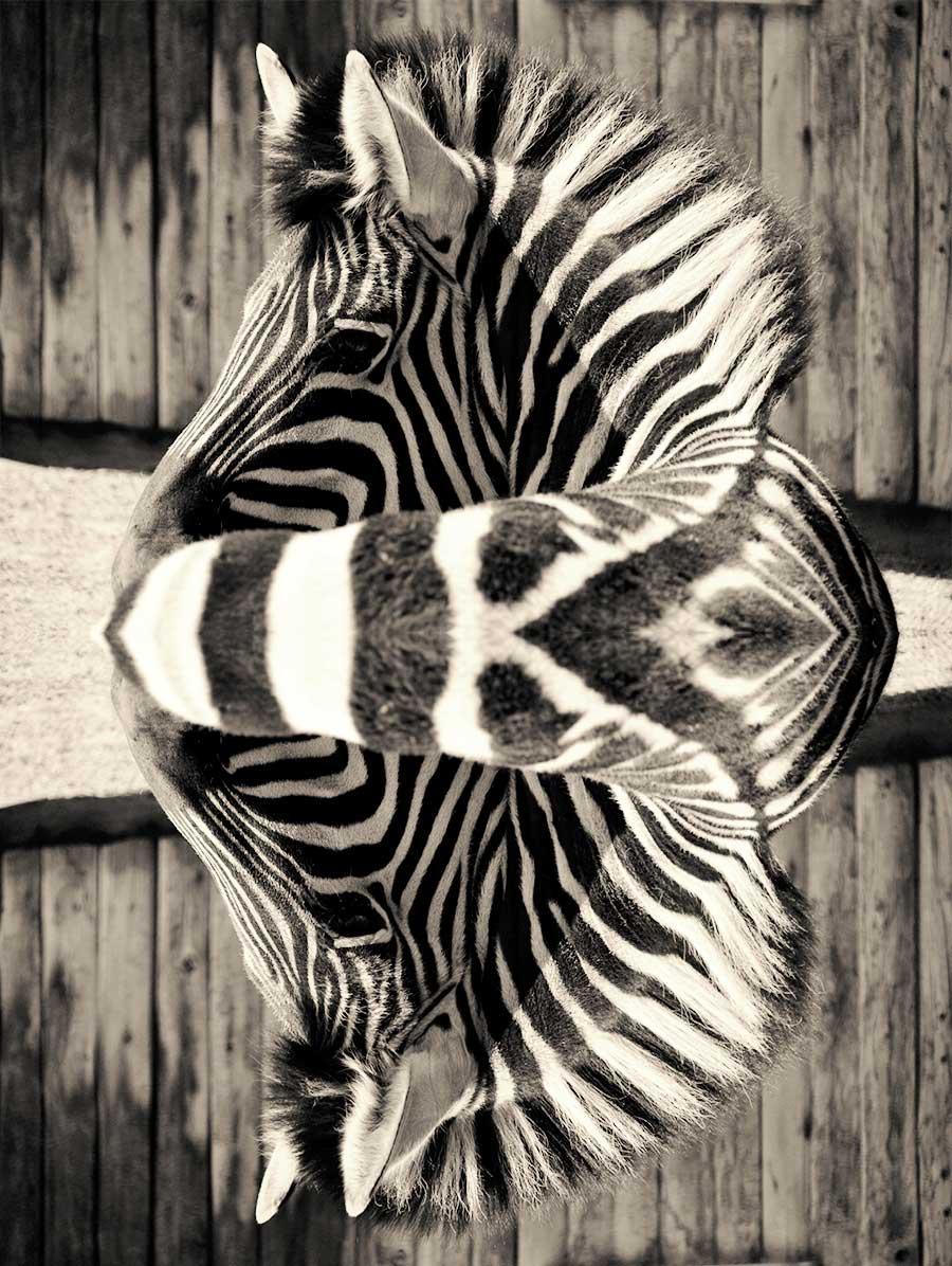 Streifen Zebra