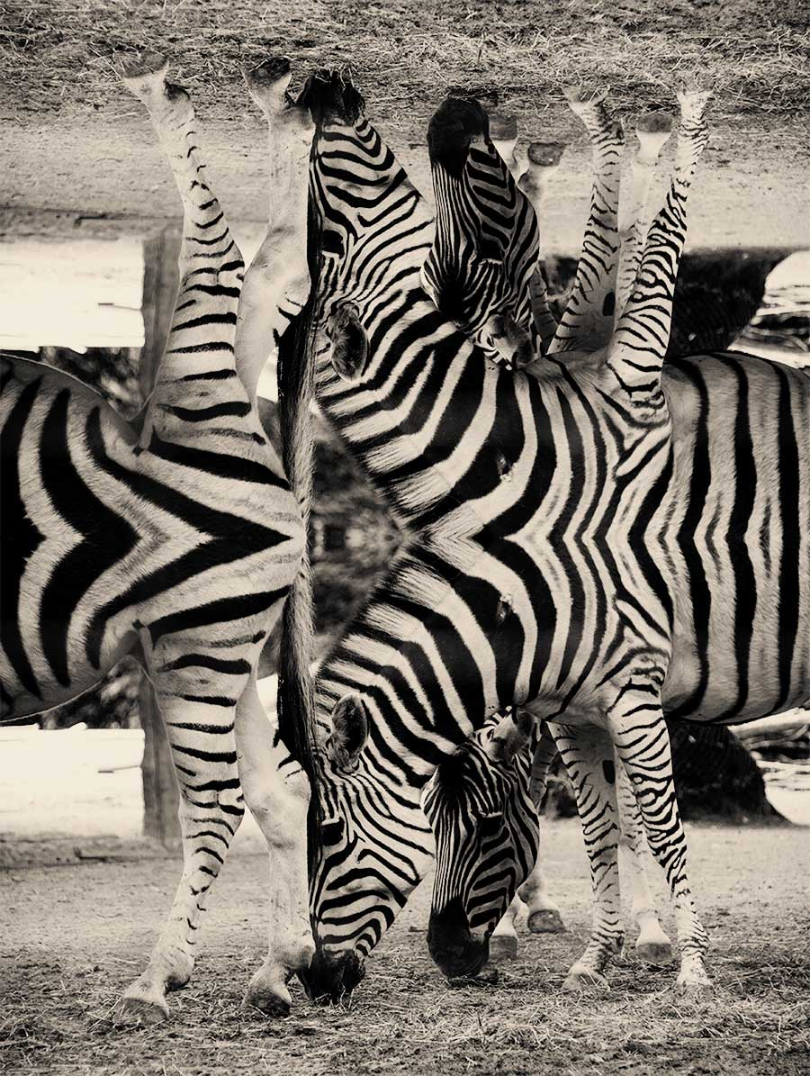 Zebras Wirrwarr